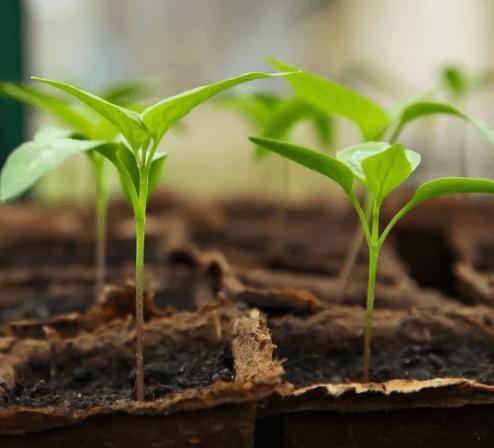 Gemüse in der Wohnung anbauen ist doch fast unmöglich?